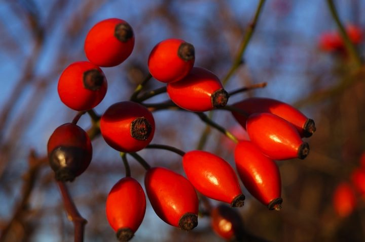 the-rosehip-fruits-1111502_1280