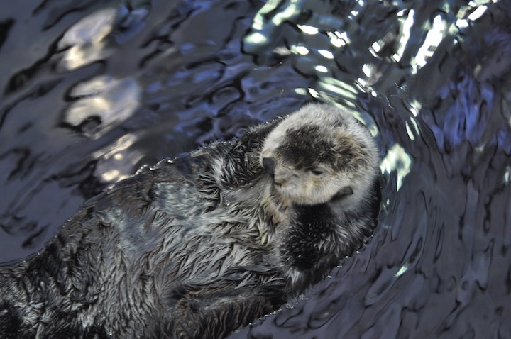 Aquarium-sea-otter-DSC_2026-copy