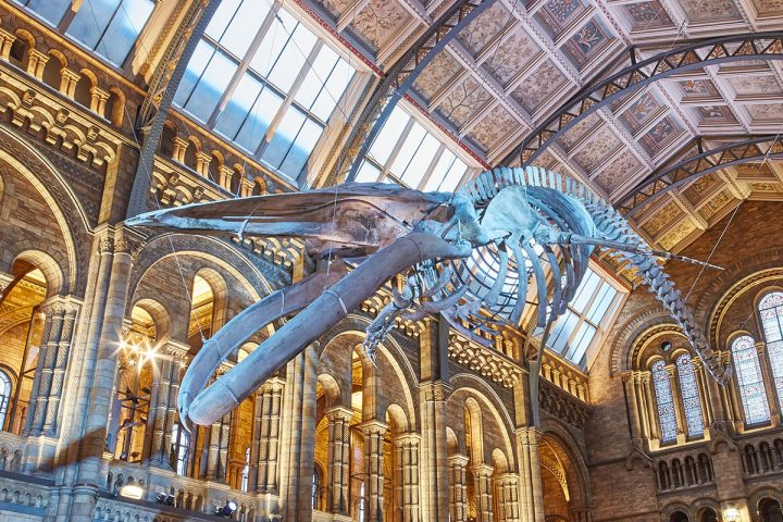 skeleton of a blue whale called Hope on displaun in the Victorian Hinze Hall at the NHM London