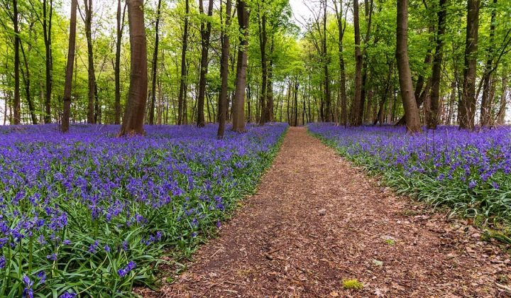 bluebell woods with path